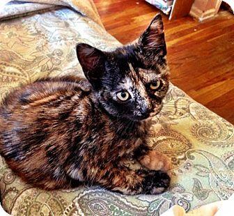 Calico Kitten for adoption in Long Beach, New York - Maeve