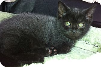 Domestic Shorthair Kitten for adoption in Hendersonville, Tennessee - Lily