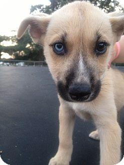 Alaskan Malamute/Siberian Husky Mix Puppy for adoption in Indian Trail, North Carolina - Sasha