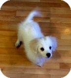 Spitz (Unknown Type, Medium)/Pomeranian Mix Puppy for adoption in Windham, New Hampshire - Snowball (bs)