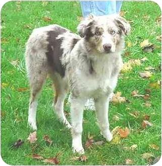 Australian Shepherd Puppy for adoption in Austin, Minnesota - Speedy