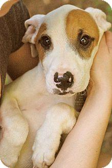 Labrador Retriever/Terrier (Unknown Type, Medium) Mix Puppy for adoption in Marietta, Georgia - Calvin
