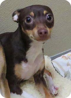 Rat Terrier Dog for adoption in Middletown, New York - Tess&Skye