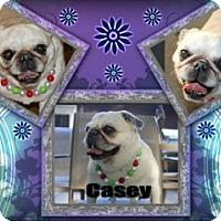 Adopt A Pet :: Casey - Walled Lake, MI