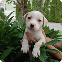 Adopt A Pet :: Dora- ADOPTION PENDING - Albany, NY