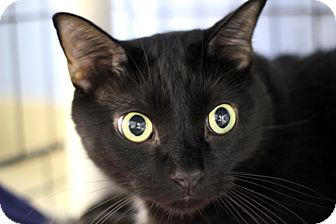 Domestic Shorthair Cat for adoption in Chicago, Illinois - Dr. Dexter
