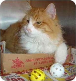 Domestic Longhair Cat for adoption in Overland Park, Kansas - Langston