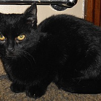 Domestic Shorthair Cat for adoption in Chattanooga, Tennessee - Albert