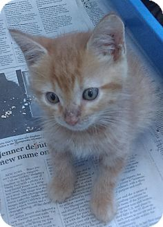 Domestic Shorthair Kitten for adoption in Kirby, Texas - Salsa