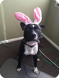 Boxer/German Shepherd Dog Mix Dog for adoption in Phoenix, Arizona - Bolt