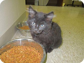 Domestic Mediumhair Kitten for adoption in Medina, Ohio - Petey