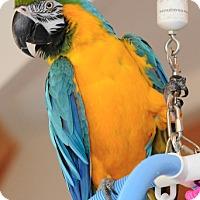 Adopt A Pet :: Gizmo - Asheville, NC