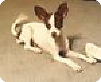 Chihuahua Puppy for adoption in Port Charlotte, Florida - Cuddles
