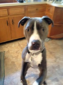Pit Bull Terrier Mix Dog for adoption in Brooklyn, New York - Dutch