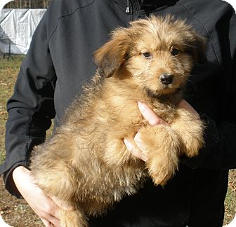 Briard Mix Puppy for adoption in Stamford, Connecticut - MILA - gorgeous