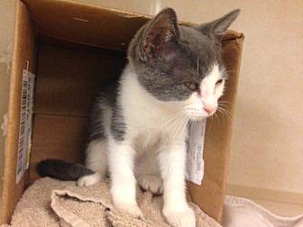 Domestic Mediumhair Cat for adoption in Dallas, Texas - Peewee