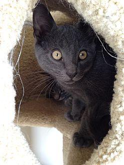 Domestic Shorthair Kitten for adoption in Fairfax, Virginia - Cahill