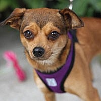 Chihuahua Mix Dog for adoption in Pacific Grove, California - Chiquita