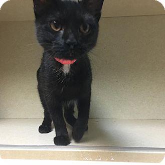 Domestic Shorthair Kitten for adoption in Westminster, California - Granny Smith