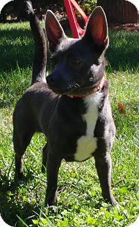 Rat Terrier Mix Dog for adoption in Harrisburg, North Carolina - Hope