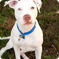 American Bulldog/American Bulldog Mix Dog for adoption in Stafford, Virginia - Saint Nicholas