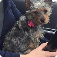 Adopt A Pet :: Foxy - Sinking Spring, PA