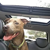 Pit Bull Terrier Mix Dog for adoption in West Palm Beach, Florida - Hugo