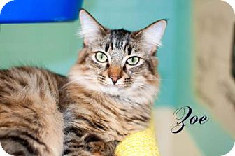 Domestic Mediumhair Cat for adoption in Middleburg, Florida - Zoe