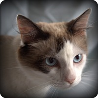 Siamese Cat for adoption in Spring Valley, New York - Crystal