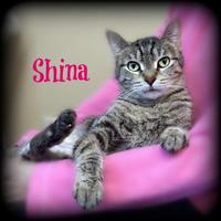 Adopt A Pet :: SHINA - Slinger, WI
