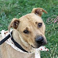 Adopt A Pet :: Amy - Joliet, IL