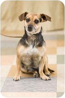 Dachshund/Chihuahua Mix Dog for adoption in Portland, Oregon - Lady Bug