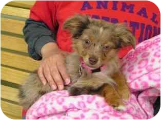 Australian Shepherd Mix Puppy for adoption in Norwalk, Connecticut - Annabelle