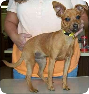 Chihuahua/Miniature Pinscher Mix Puppy for adoption in North Judson, Indiana - Minnie
