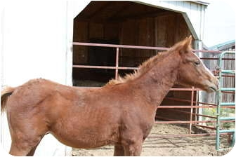 Standardbred Mix for adoption in Pueblo, Colorado - BamBam
