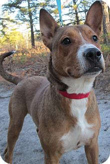 Pharaoh Hound/Shepherd (Unknown Type) Mix Dog for adoption in Forked River, New Jersey - Freddie