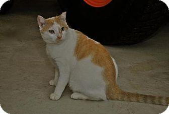Polydactyl/Hemingway Cat for adoption in Trevose, Pennsylvania - Buddy