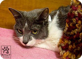 Domestic Shorthair Cat for adoption in Lancaster, Massachusetts - Octavia