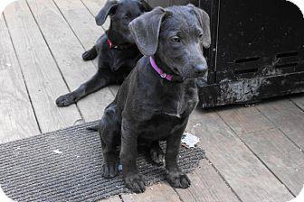Labradoodle/Weimaraner Mix Puppy for adoption in Wethersfield, Connecticut - Addie