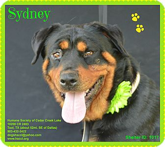Rottweiler Dog for adoption in Plano, Texas - Sydney