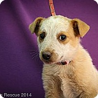 Adopt A Pet :: Cabo - Broomfield, CO