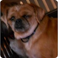 Adopt A Pet :: King Kong - dewey, AZ