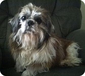 Shih Tzu Mix Dog for adoption in Kalamazoo, Michigan - Lance