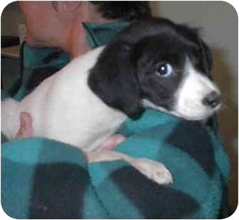 Rat Terrier Mix Dog for adoption in Oxford, Michigan - Tinker Bell- on hold