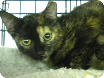 Domestic Shorthair Kitten for adoption in Forest Hills, New York - Sara