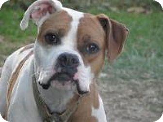 Boxer/Bulldog Mix Dog for adoption in Treton, Ontario - whyle
