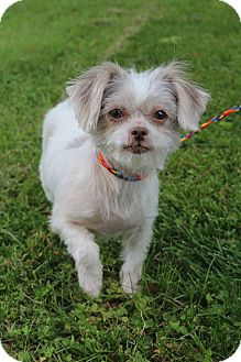Shih Tzu/Yorkie, Yorkshire Terrier Mix Dog for adoption in Southington, Connecticut - Brooklyn