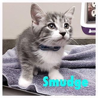 Domestic Shorthair Kitten for adoption in Woodstock, Ontario - Smudge