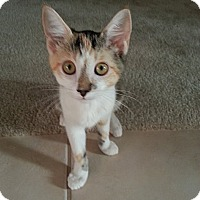 Adopt A Pet :: Cagney - The Colony, TX