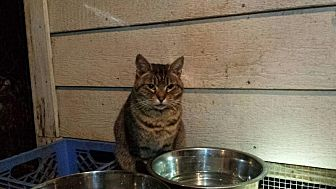 Domestic Shorthair Cat for adoption in Columbia, South Carolina - Destiny